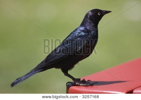 Black Bird On A Red Table