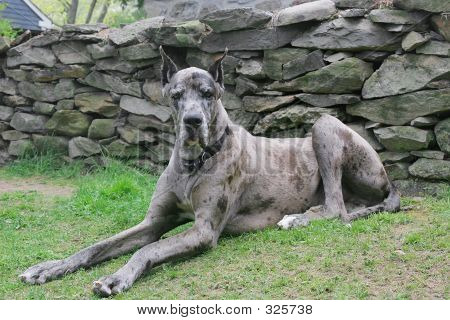 Great Dane 102