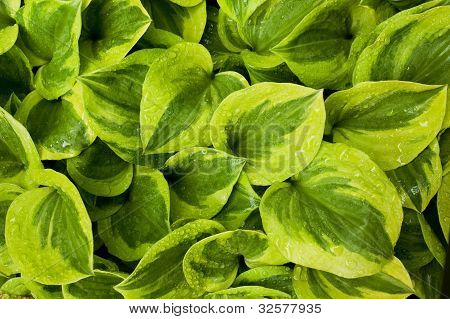 Hosta leaves