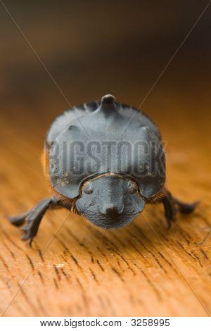 Black Horned Beetle