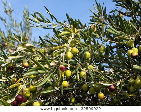 Olive tree with many fruits