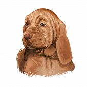 Southern Hound With Haired Coat, Purebred Animal Digital Art. Animalistic Watercolor Portrait Closeu poster