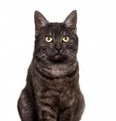 Mixed-breed domestic cat against white background poster
