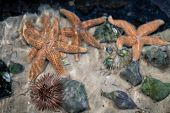 Starfish, Sea Urchins, And Spiral Sea Snails In Shallow Water Or Tank, Blurred Or Wavy Visual Effect poster