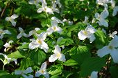 picture of trillium  - A bed of Trilliums in full bloom reaching out for the late day sun - JPG
