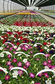 Greenhouse Petunias