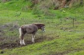 Alone Grazing Grey Pony With Fern And Palm Branches On Background. Horse Walking On Green Grass And  poster