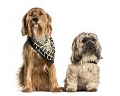Barak or Bosnian Broken-haired Hound and Shi tzu sitting against white background poster