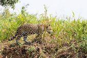 Jaguar From Pantanal, Brazil poster
