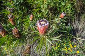 Flower Head With A Black Fringe That Intergrades To White Of The Protea Neriifolia Or Oleanderleaf P poster