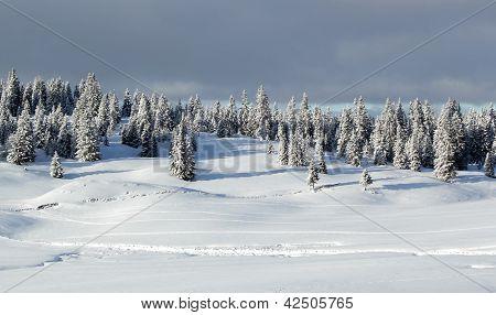 Fir Tree In Winter, Jura Mountain, Switzerland