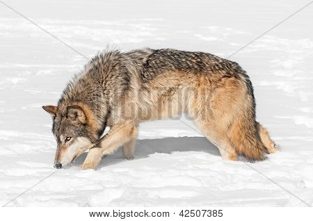 Grey Wolf (Canis lupus) Prowls Through Snow