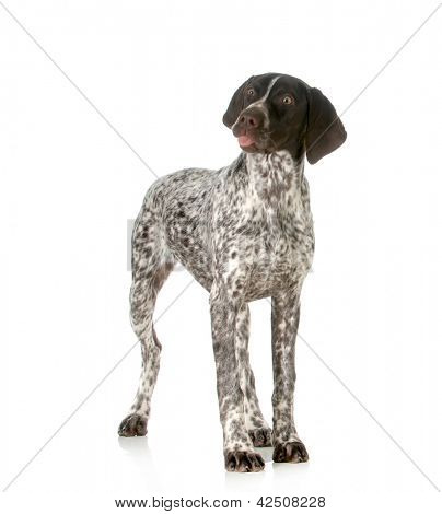 funny dog - german shorthaired pointer sticking tongue out isolated on white background