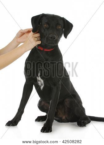 woman putting collar on black lab cross dog isolated on white background