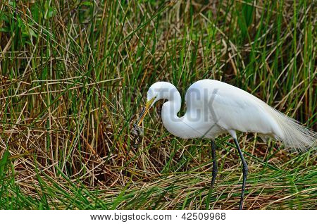 Great Egret With Snake