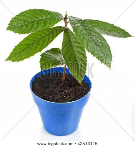 Loquat Medlar Seedling Tree  in Blue Pot isolated on a white background