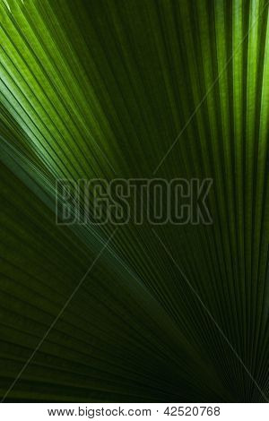 Texture Of Palm Leaf