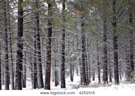 Lodgepole Pine Forest In The Snow