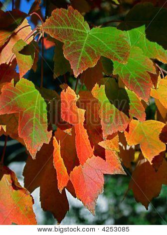 Bright Fall Leafs Still On Tree