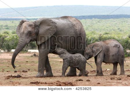 Elephant Baby And Mother
