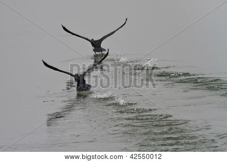 Cormorants (phalacrocorax Carbo )
