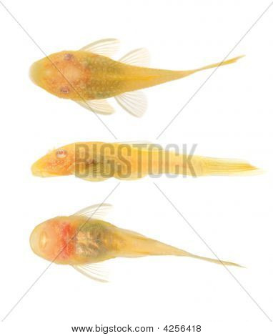 Bushy Nose - Goldspot Ancistrus Albino