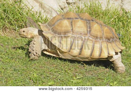African Spiney Tortoise