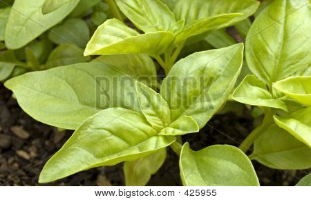Basil Growing In Pot
