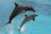 stock photo of bottlenose dolphin  - Two bottlenose dolphins leaping out of the blue water together - JPG