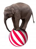 foto of indian elephant  - a baby circus elephant balancing on a big ball - JPG