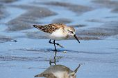 picture of mauri  - Western Sandpiper  - JPG
