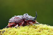 foto of oryctes  - European rhinoceros beetle in the wild  - JPG