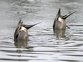 stock photo of pintail  - A pair of Northern Pintails dabbling in a partially frozen pond - JPG