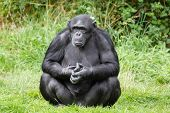 picture of chimp  - Portrait of a chimp or chimpanzee sitting - JPG