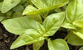 Basil Growing In Pot