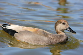 stock photo of gadwall  - A body shot of a gadwall swimming along in a body of water - JPG