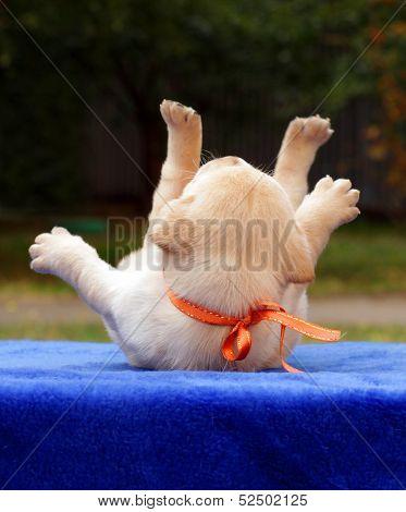 Happy Yellow Labrador Puppy