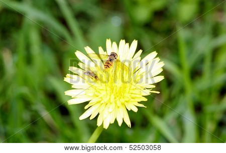 Wasp and dandelion, insect and flower in summer