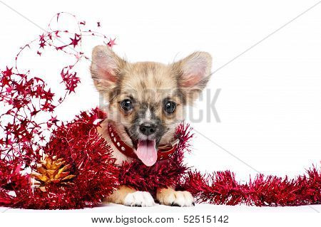 happy Chihuahua puppy in a frame of shining red tinsel