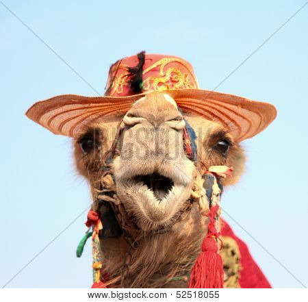 Funny portrait of camel .