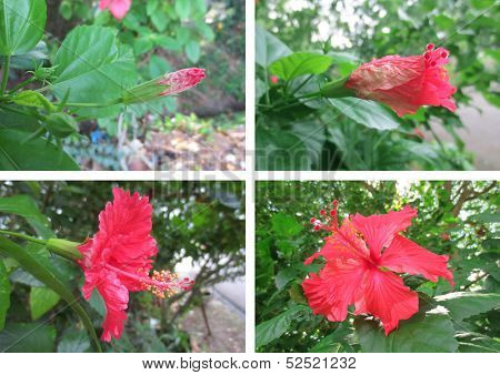 Hibiscus Stages