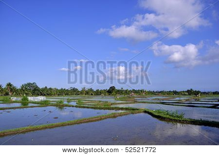 Ricefields Under Blue Sky