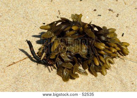 Seaweed On Montauk Beach