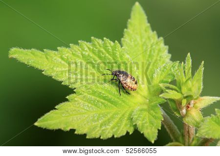 Stinkbug Larvae On Green Leaf