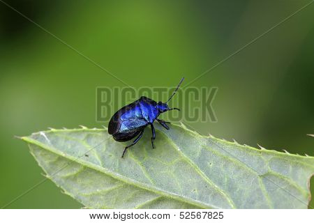 Purple Stinkbug On Green Leaf