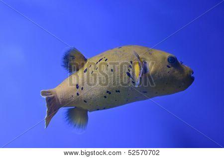 Yellow Fugu Fish
