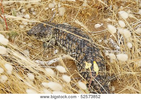 Shingleback Lizard, Australia