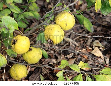 yellow fruits of japanese quince ornamental bush