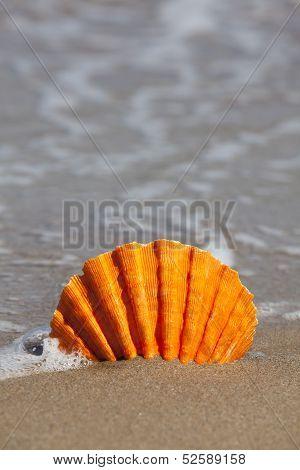Single Orange Scallop Shell