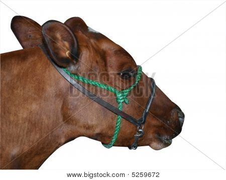 Red Ayrshire Cow